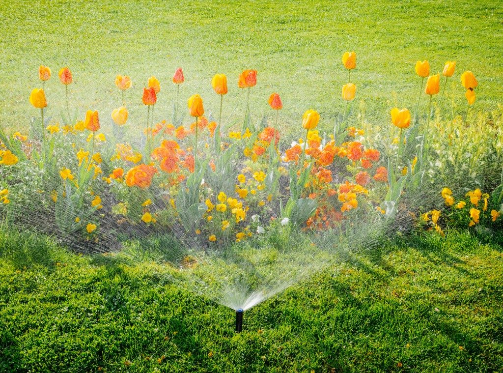 water sprinkler watering tulips